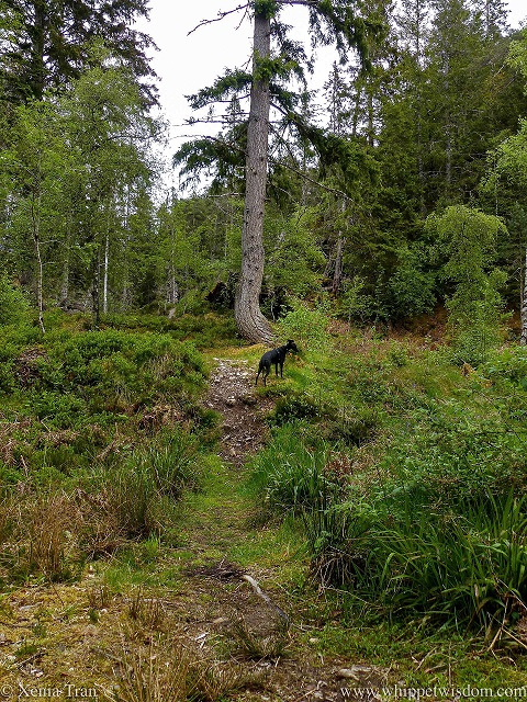 a black whippet climbing up a bank in the gorge beside an ancient pine