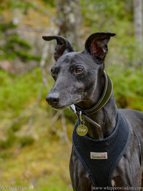 close up shot of a black whippet in a black harness on a forest trail