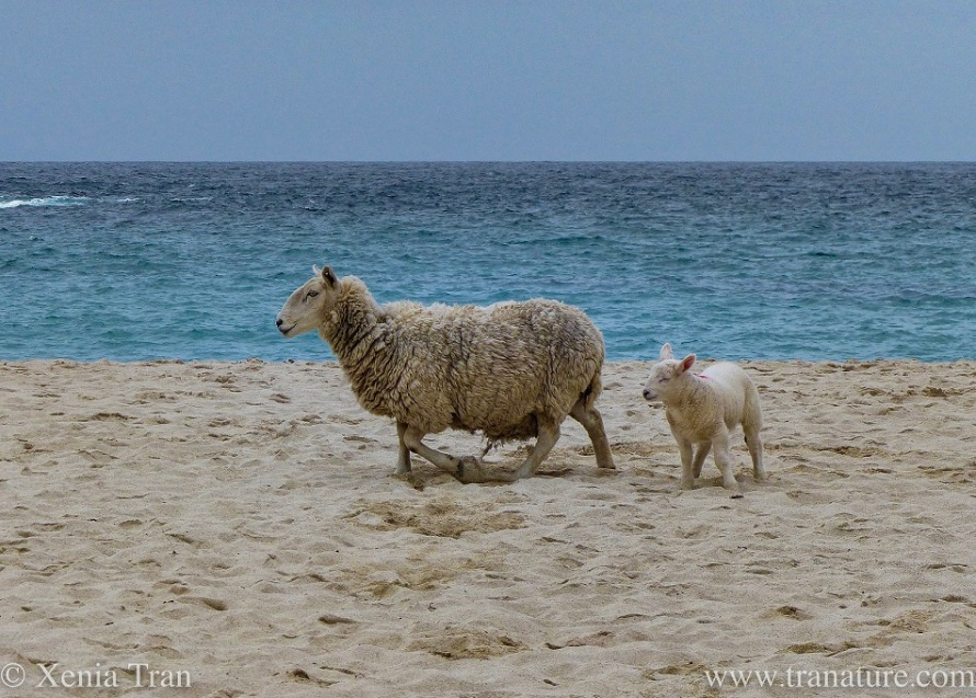 a ewe takes her lamb to the beach for a stroll