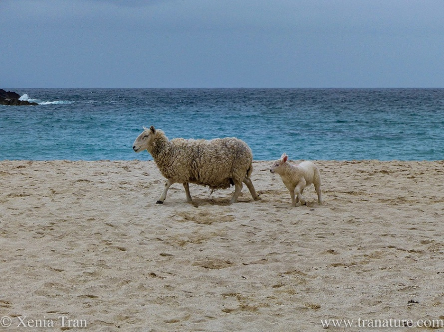 a lamb following her woolly mother on the beach