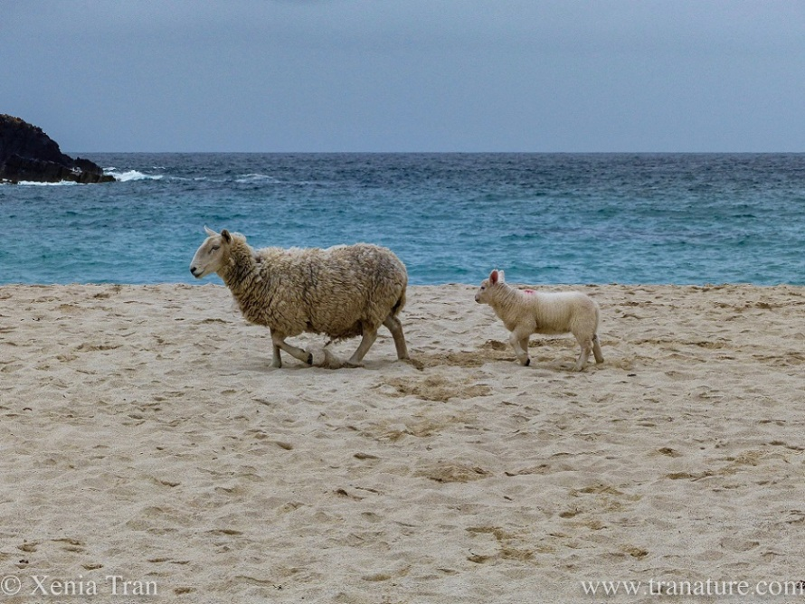 a lamb trotting behind his mother on the beach