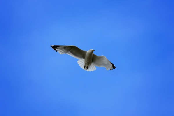 seagull-in-blue-sky