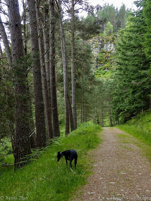 a black whippet sniffing the grass beside a forest trail