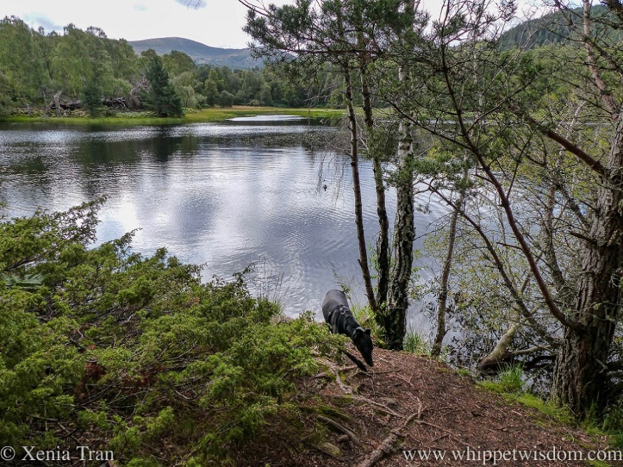 a black whippet climbing back on the loch shore beside the trees