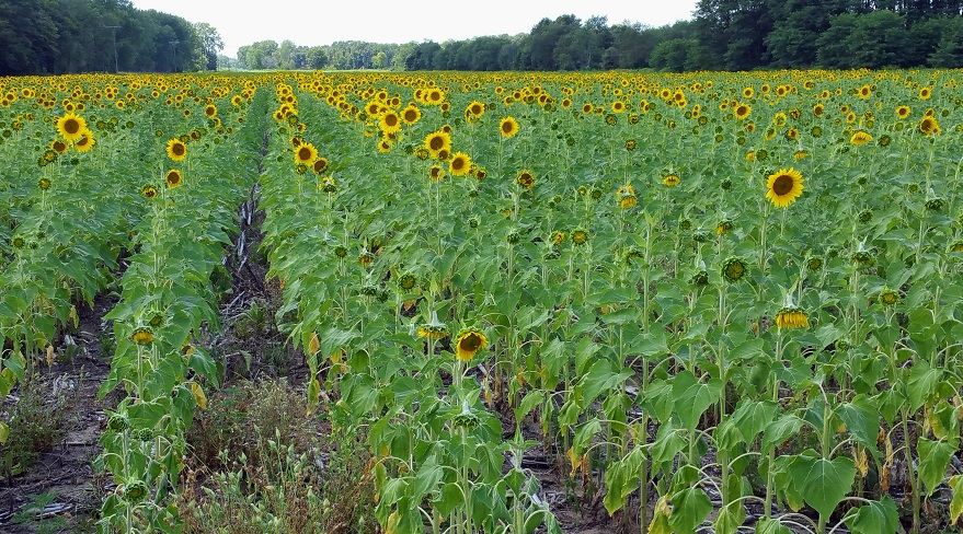 Field of Sunflowers at Willow Slough, Morocco, Indiana