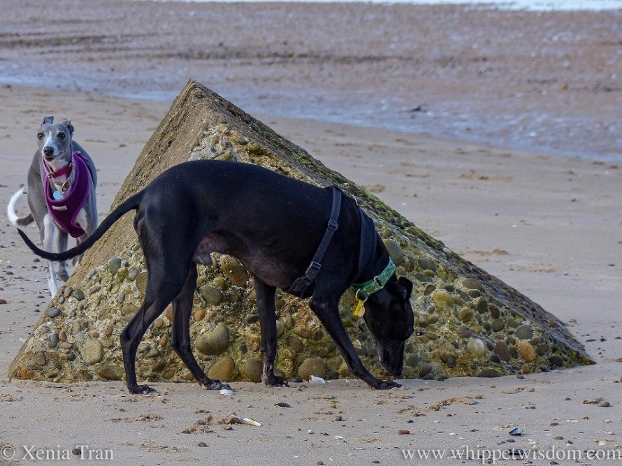 two whippets on the beach beside old WWII defences