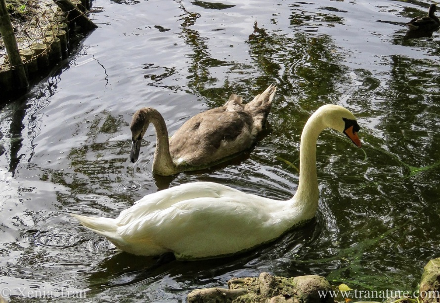 a male swan and his cygnet in the pond