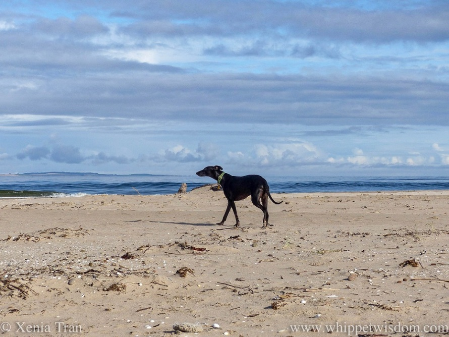 a black whippet striding out along the beach