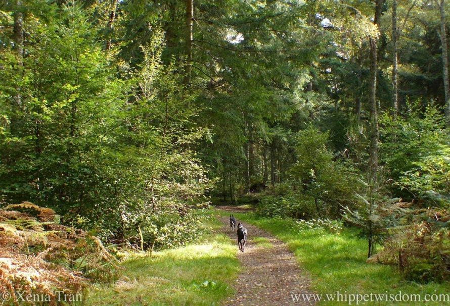two whippets walking behind one another on a forest trail