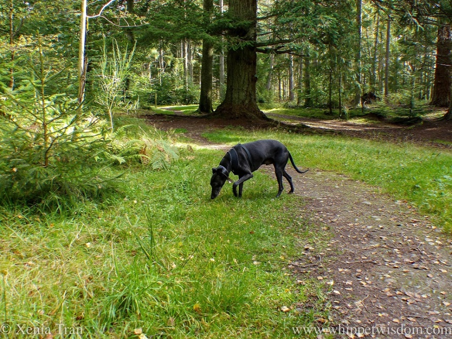 a black whippet sniffing the grass on a forest trail