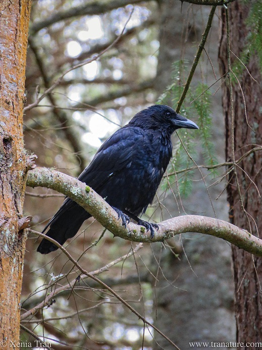 a mature raven high up on a tree branch