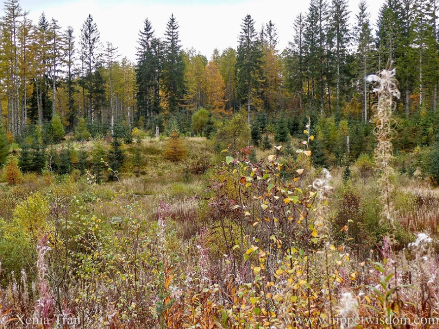 autumn leaves, golden spruce and green pine