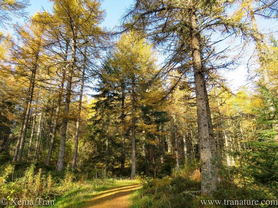 a winding woodland trail between pine trees and douglas fir