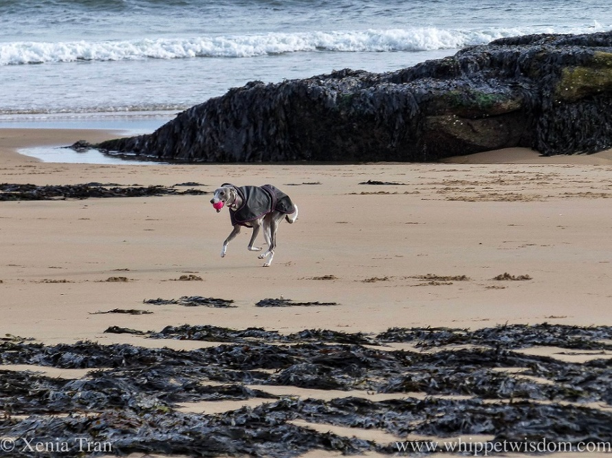 a blue and white whippet cantering on the beach with a pink ball