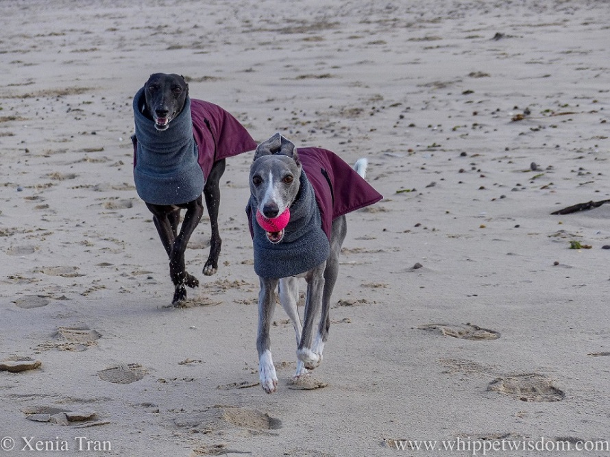 two whippets in winter jackets running together on the beach