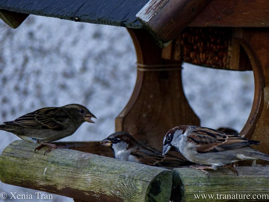 three sparrows feeding on a wooden birdfeeder