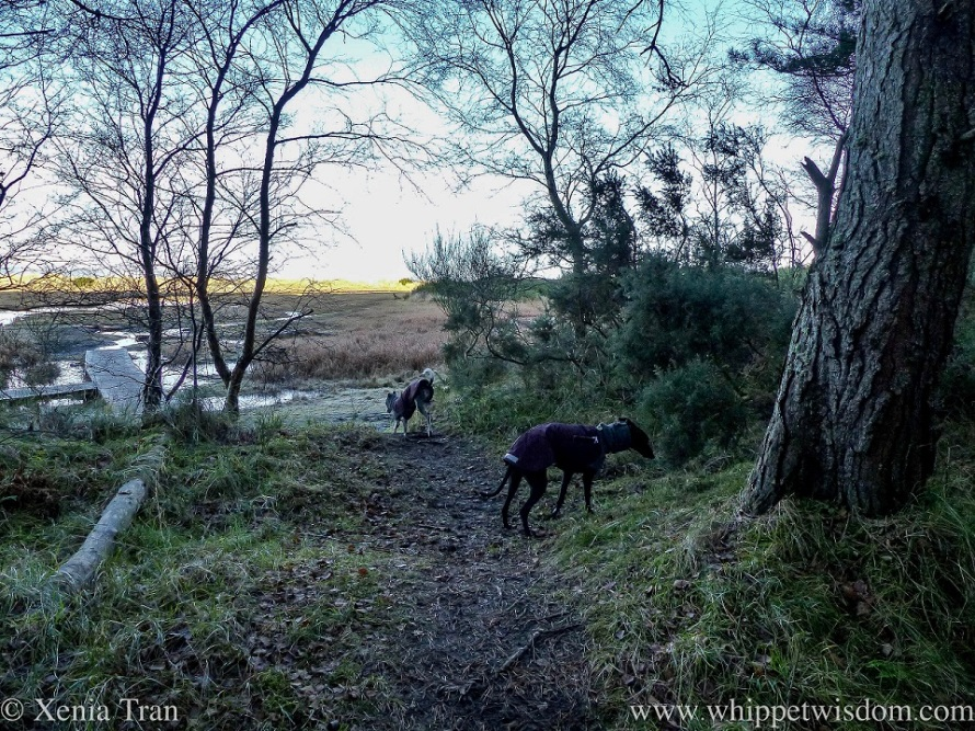 two whippets in winter jackets at the edge of a forest opening onto marshes