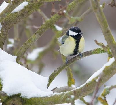 snowy_great_tit