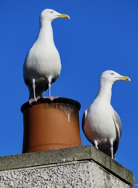 a pair of mature herring gulls on a chimney against a blue sky