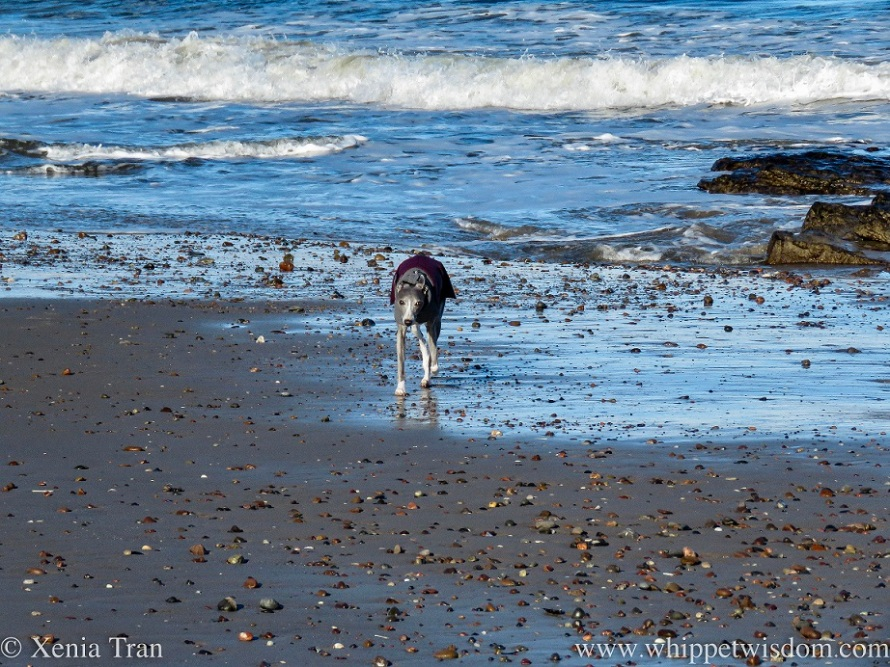 a blue and white whippet in a winter jacket walking away from the surf towards the dry sand