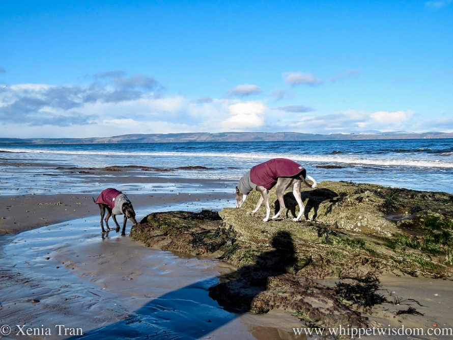 two whippets in winter jackets sniffing a rock on the beach