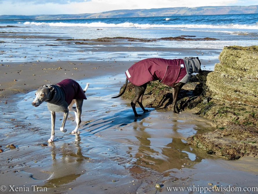 two whippets in winter jackets on tidal sands beside a rock