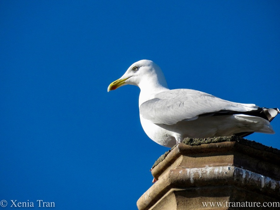 a mature seagull sitting on a chimney pot against a blue sky