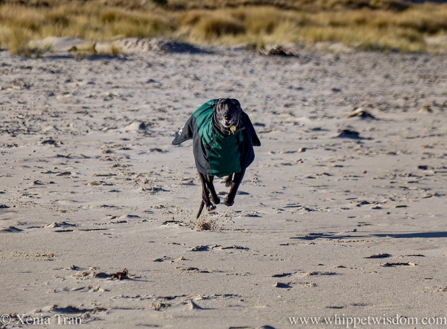 a smiling black whippet in a winter jacket sprinting across the beach