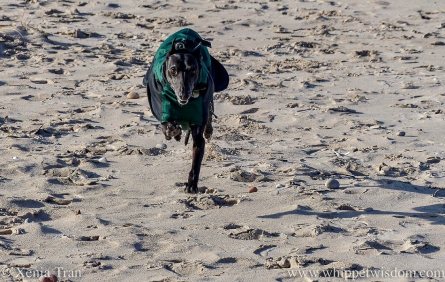 a smiling black whippet in a winter jacket leaping across the beach