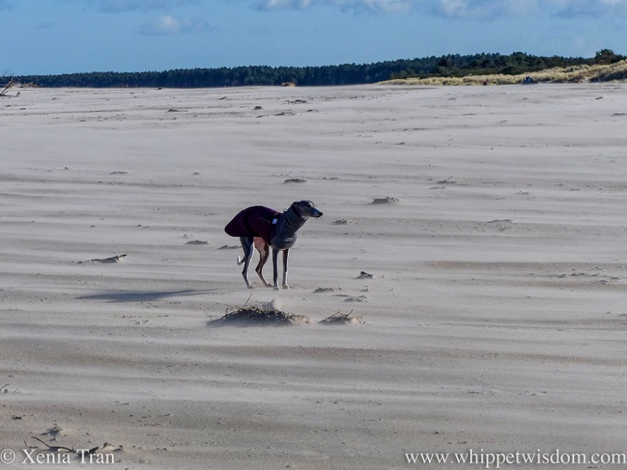 a blue and white whippet in a winter jacket standing on a wind-swept beach