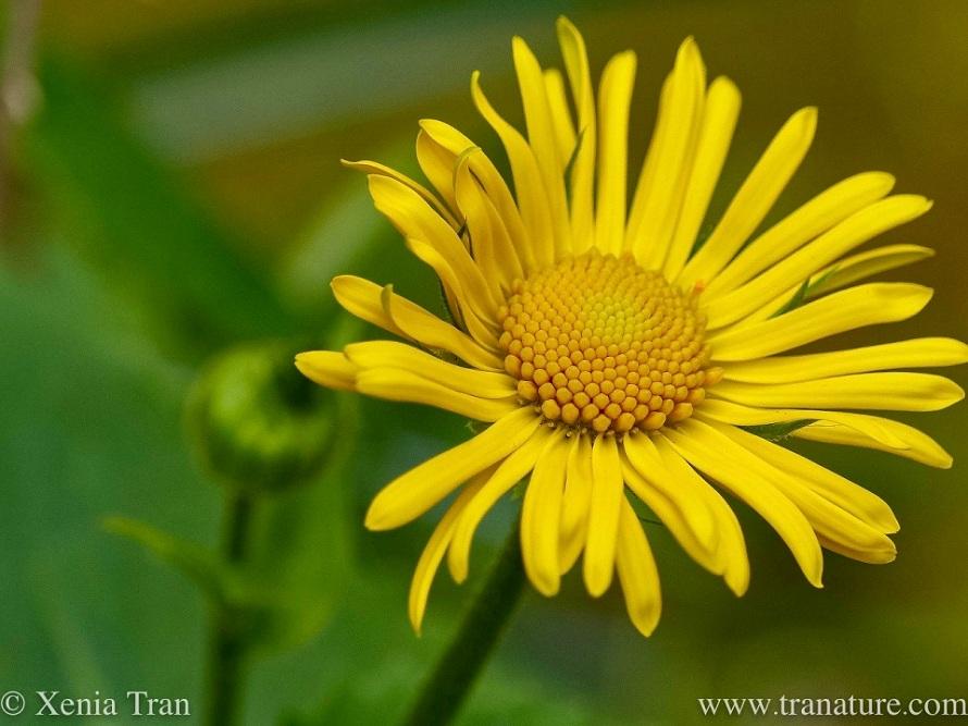 macro shot of a Doronicum Orientale Little Leo flower and bud