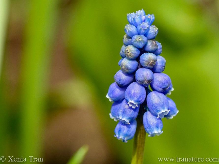 macro shot of a grape hyacinth flower