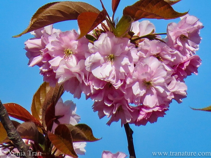 close up shot of flowering cherry blossoms hanging from the branch in a heart-shaped cluster
