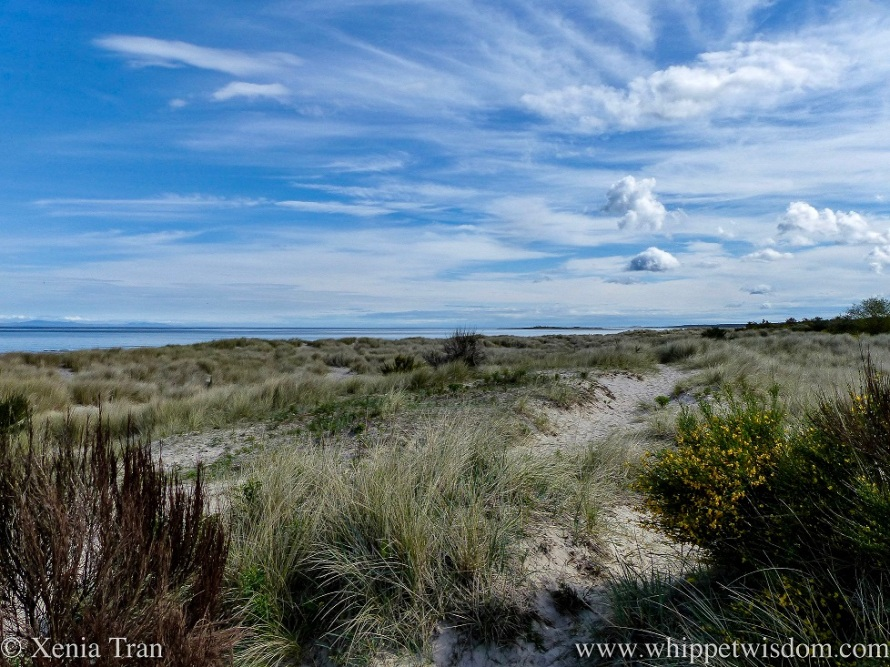 a path through the dunes with blooming gorse and marram grass