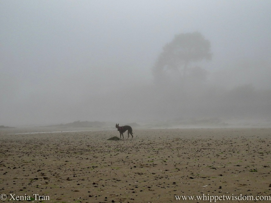 silhouette of a whippet by a rock on a misty beach