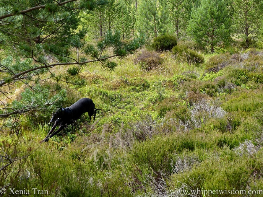 a black whippet running on a narrow trail through heather