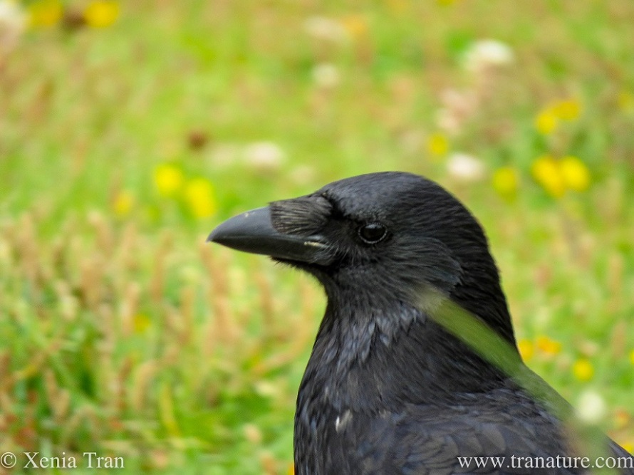 a smiling crow looking at the camera