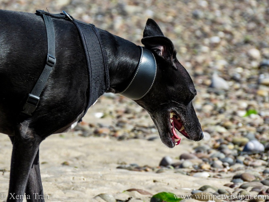 a smiling black whippet walking across a shingle beach