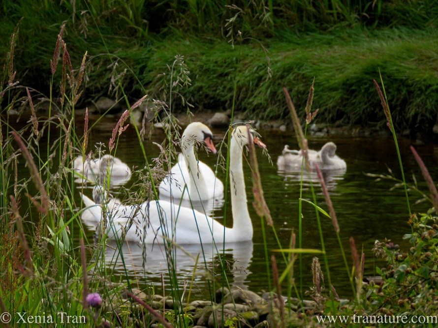 a swan family preening and relaxing in a moat