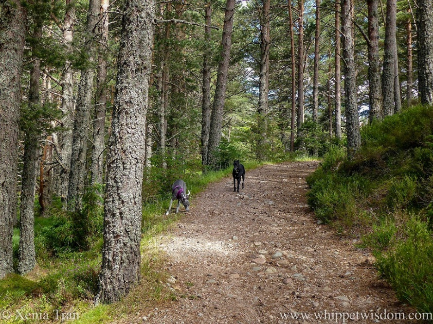 two whippets on a hilly forest trail