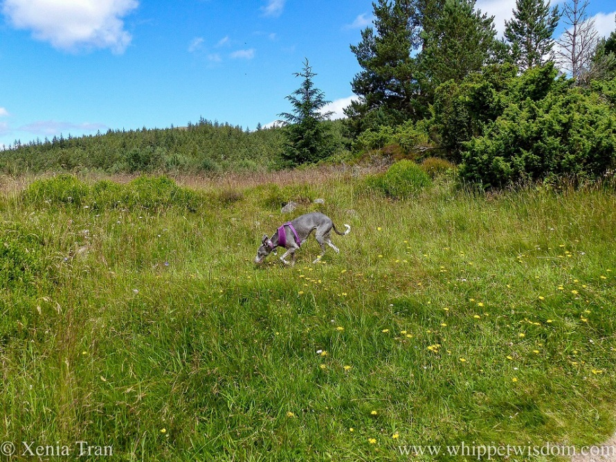 a blue and white whippet walking on a hill with wildflowers