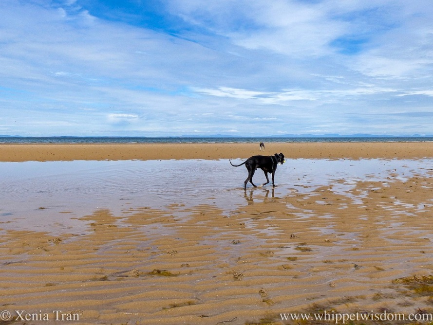 a black whippet walking through a tidal pool with a ball