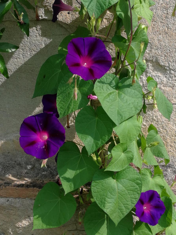 purple ipomea
