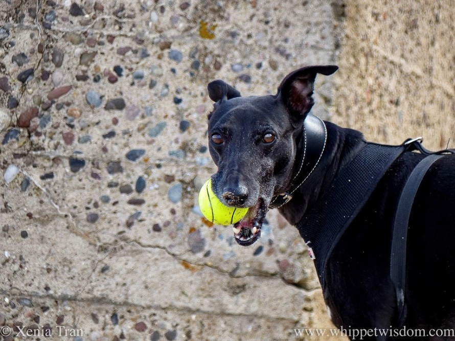 close up of a black whippet with a yellow ball