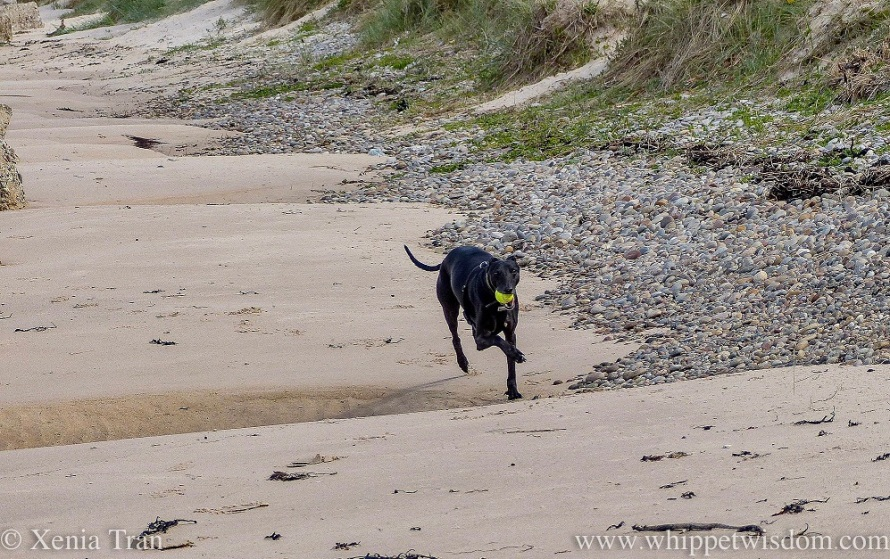 a black whippet running along the beach with a ball