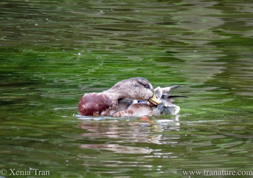 close up of a preening duck on the water