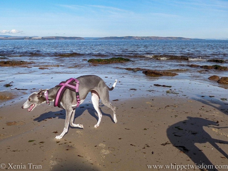 a blue and white whippet walking on tidal sands