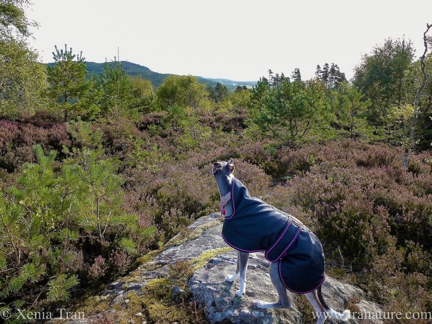 a blue and white whippet on a rock in the forest