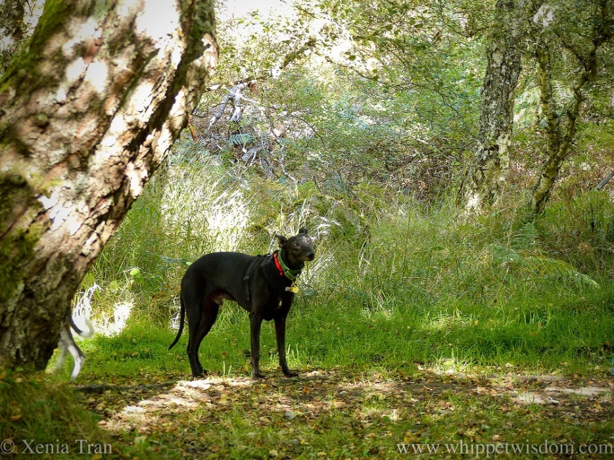 a black whippet on a forest trail
