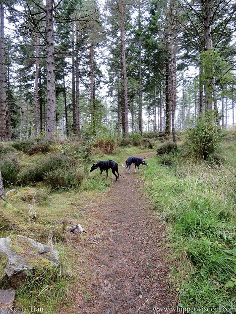two whippets in black rain jackets on a forest trail